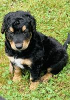Aussie Doodles Puppies for sale in Reidsville, NC 27320, USA. price: NA
