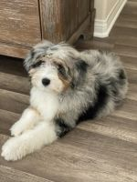 Aussie Doodles Puppies for sale in Pflugerville, TX, USA. price: NA
