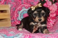 Aussie Doodles Puppies for sale in Liberal, MO 64762, USA. price: NA
