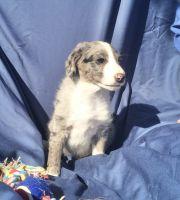 Aussie Doodles Puppies for sale in Mt Pleasant, MI 48858, USA. price: NA