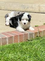 Aussie Doodles Puppies for sale in Covina, CA, USA. price: NA