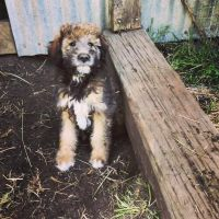 Aussie Doodles Puppies for sale in Orofino, ID 83544, USA. price: NA