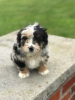 Aussie Doodles Puppies for sale in Ewing, KY 41039, USA. price: NA