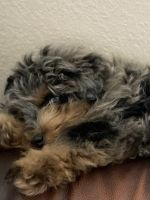 Aussie Doodles Puppies for sale in Moweaqua, IL 62550, USA. price: NA