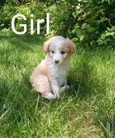 Aussie Doodles Puppies for sale in Frankenmuth, MI, USA. price: NA