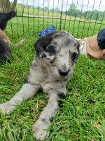 Aussie Doodles Puppies for sale in Marion, IL, USA. price: NA