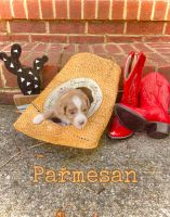 Aussie Doodles Puppies for sale in Athens, TN 37303, USA. price: NA