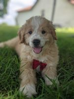 Aussie Doodles Puppies for sale in Wheaton, MO, USA. price: NA