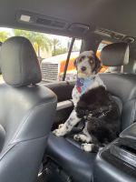 Aussie Doodles Puppies for sale in Bradenton, FL, USA. price: NA