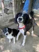 Aussie Doodles Puppies for sale in Dover, KY 41034, USA. price: NA