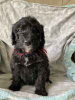 Aussie Doodles Puppies for sale in Scio, OR 97374, USA. price: NA