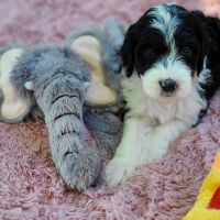 Aussie Doodles Puppies for sale in Fairfield, CA, USA. price: NA