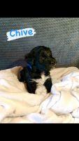 Aussie Doodles Puppies for sale in Chandler, AZ, USA. price: NA