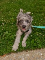 Aussie Doodles Puppies for sale in Harrison, NY, USA. price: NA