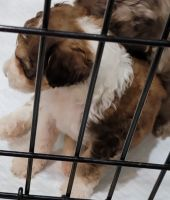 Aussie Doodles Puppies for sale in New Bern, NC, USA. price: NA