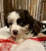 Aussie Doodles Puppies for sale in Louisburg, KS 66053, USA. price: NA