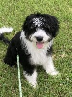 Aussie Doodles Puppies for sale in St Peters, MO, USA. price: NA