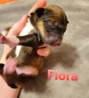 Aussie Doodles Puppies for sale in London, KY, USA. price: NA