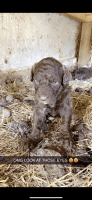 Aussie Doodles Puppies for sale in Romeoville, IL, USA. price: NA