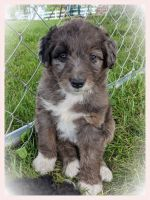 Aussie Doodles Puppies for sale in Maryville, MO 64468, USA. price: NA