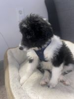 Aussie Poo Puppies for sale in Philadelphia, PA, USA. price: NA