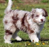 Aussie Poo Puppies for sale in New York, NY, USA. price: NA