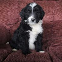 Aussie Poo Puppies for sale in Canton, OH, USA. price: NA