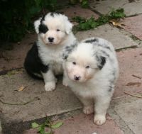 Aussie Poo Puppies for sale in Austin, TX, USA. price: NA