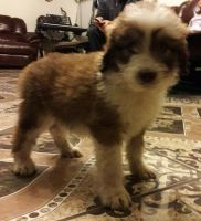 Aussie Poo Puppies for sale in Dayton, OH, USA. price: NA