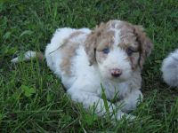 Aussie Poo Puppies for sale in Owingsville, KY 40360, USA. price: NA