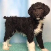 Aussie Poo Puppies for sale in North Canton, OH, USA. price: NA