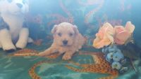 Aussie Poo Puppies for sale in Grabill, IN 46741, USA. price: NA