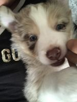 Aussie Poo Puppies for sale in Westminster, CO, USA. price: NA
