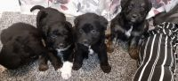 Aussie Poo Puppies for sale in South Boston, VA 24592, USA. price: NA