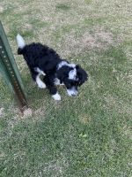 Aussie Poo Puppies for sale in Starkville, MS 39759, USA. price: NA