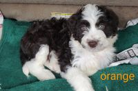 Aussie Poo Puppies for sale in Ellington, MO 63638, USA. price: NA