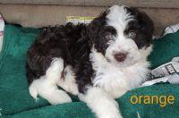 Aussie Poo Puppies Photos