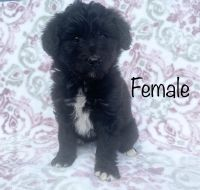 Aussie Poo Puppies for sale in Waterford Twp, MI, USA. price: NA