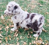Austrailian Blue Heeler Puppies for sale in Colorado Springs, CO, USA. price: NA
