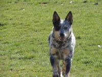 Austrailian Blue Heeler Puppies for sale in Toledo, OH, USA. price: NA