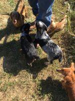 Austrailian Blue Heeler Puppies for sale in Hillsboro, OH 45133, USA. price: NA