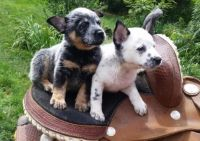 Austrailian Blue Heeler Puppies for sale in Annapolis, MD, USA. price: NA