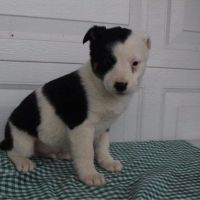 Austrailian Blue Heeler Puppies for sale in Canton, OH, USA. price: NA