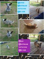 Austrailian Blue Heeler Puppies for sale in Menomonie, WI 54751, USA. price: NA