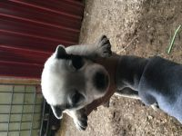 Austrailian Blue Heeler Puppies for sale in Cynthiana, KY 41031, USA. price: NA