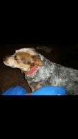 Austrailian Blue Heeler Puppies for sale in Othello, WA 99344, USA. price: NA