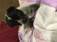 Austrailian Blue Heeler Puppies for sale in Norco, CA, USA. price: NA