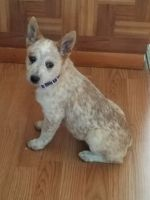 Austrailian Blue Heeler Puppies for sale in Peyton, CO 80831, USA. price: NA