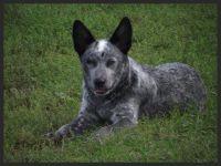 Austrailian Blue Heeler Puppies for sale in Buckley, MI 49620, USA. price: NA