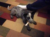 Austrailian Blue Heeler Puppies for sale in Dundee, MI 48131, USA. price: NA